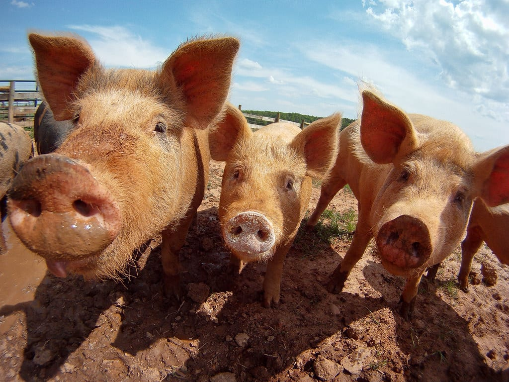 DHS S&T Completes Successful Test of DNA Tool to Detect African Swine Fever in Pigs